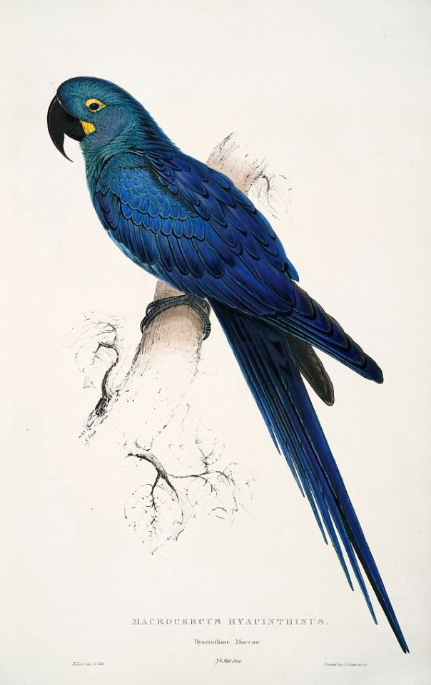 Illustration by Edward Lear (1812–88), first published in his book Illustrations of the Family of the Psittacidae, or Parrots in 1832