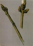 Chestnut Buds, 1983. Pastel on paper, 32.1 x 23.2 cm